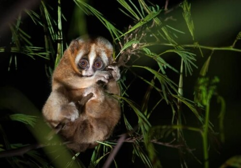 Slow loris study reveals: The human rhythm of sleep can be much older than expected