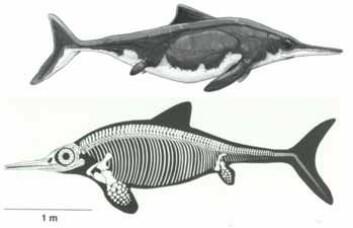 Fiskeøglen Ophthalmosaurus icenicus. Nederst skjelett og omriss av kroppen (Sander 2000), øverst en tegning slik den kan ha sett ut (Ken Kirkland). (Foto: Illustrasjon: Darren Naish, Tetrapod Zoology blog)
