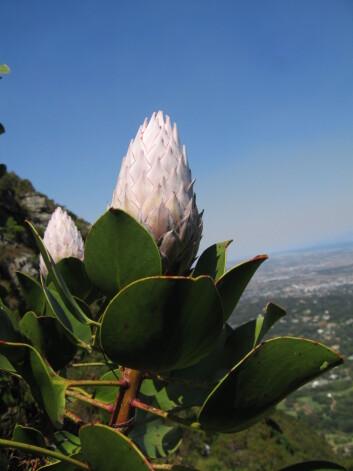 Man får lyst til å studere naturen når universitetet ligger ved Table Mountain, som blant annet huser 1500 plantearter. Her er en protea. Foto: LLD