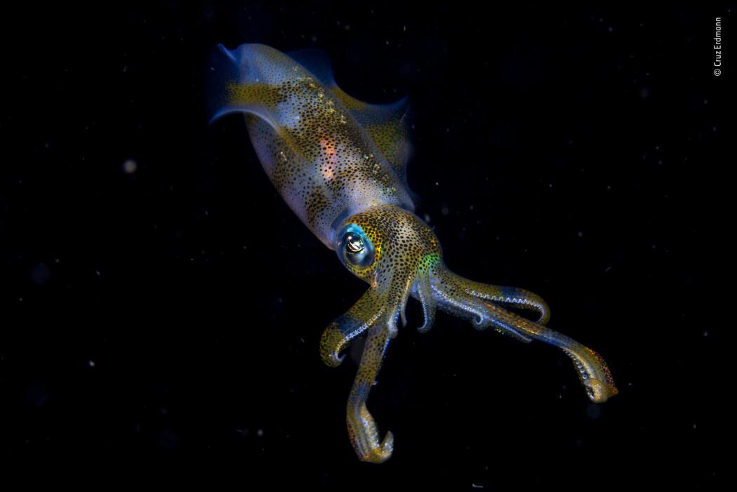 Denne arten av blekksprut er skikkelig god på å gjemme seg. En av tingene de gjør er å forandre fargene på kroppen. (Foto: Cruz Erdmann/2019 Wildlife Photographer of the Year)