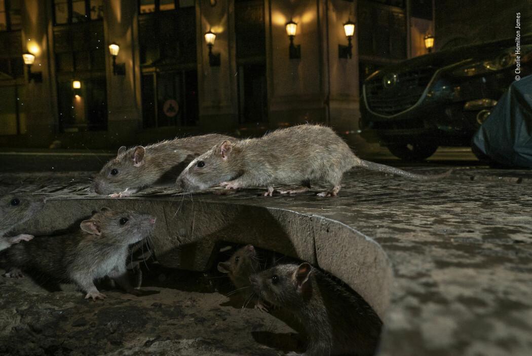 Rotter er smarte. De kan svømme, hoppe og grave seg ned. Derfor passer de godt til et liv i kloakken og i nettverk under bakken. (Fotograf: Charlie Hamilton James/2019 Wildlife Photographer of the Year)