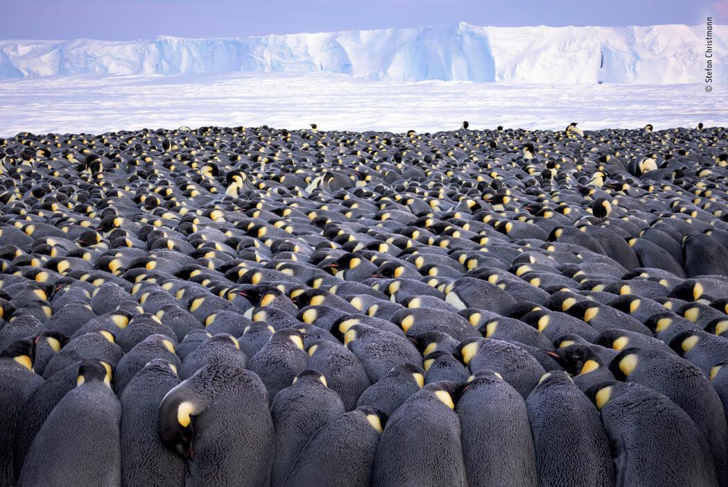 Det er fedrene som passer på eggene, som de legger på føttene sine under en hudfold av pels. Slik holder de eggene varme.  Mødrene har dratt til havs. De er borte i to måneder for å spise. (Foto: Stefan Christmann/2019 Wildlife Photographer of the Year)