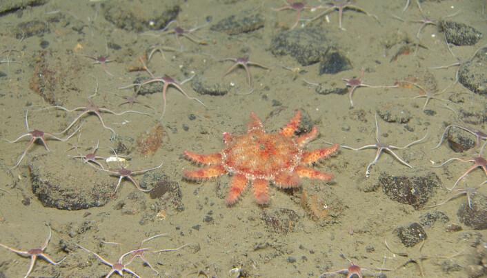 Piggsolstjerne (Crossaster sp.) og små slangestjerner (Ophiocten sp.) Foto: Mareano/HI