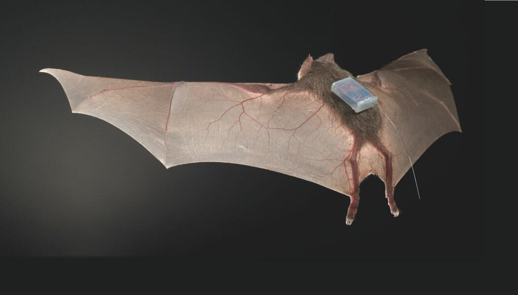 Vampyrflaggermusene ble utstyrt med sensorer, som viste hvem de var sammen med. (Foto: Sherri og Brock Fenton)