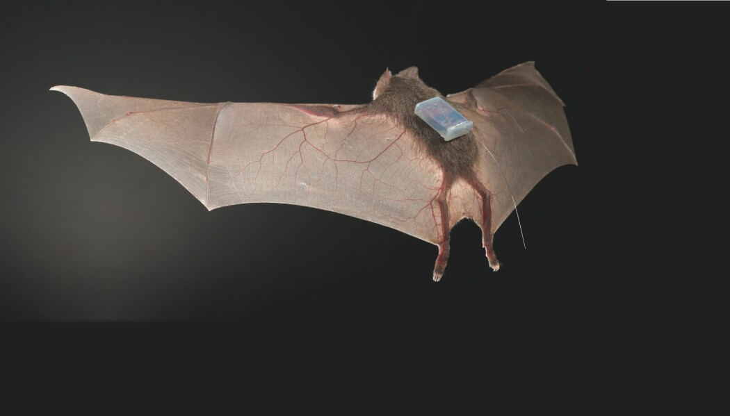 Her er en av flaggermusene med en sender på ryggen. Dyra måtte bare ha på seg senderne i litt over en uke. (Foto: Sherri og Brock Fenton)