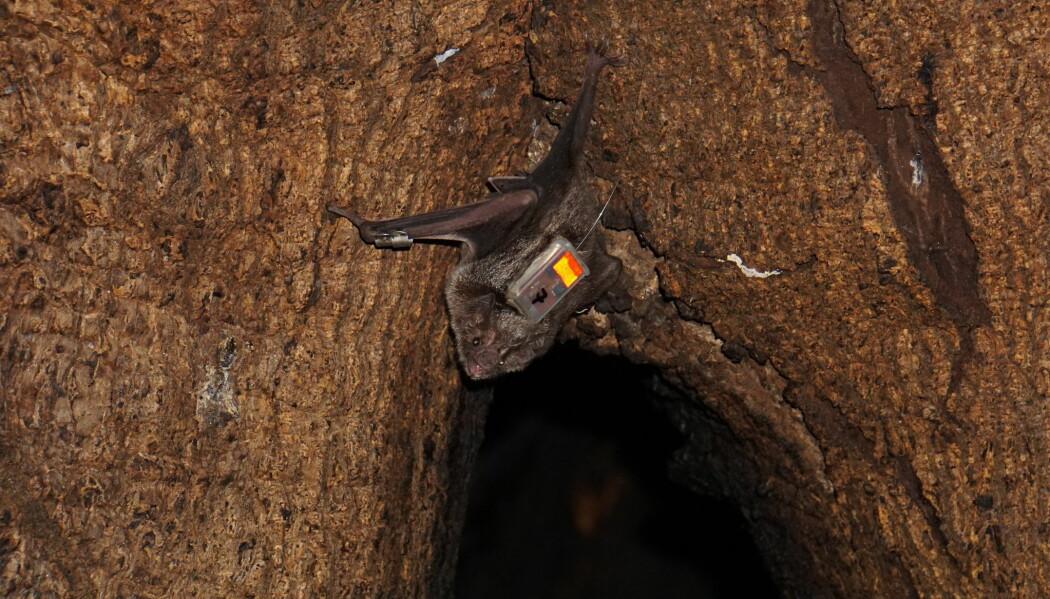 En av flaggermusene sitter i åpningen til trehulen der den bor. (Foto: Simon Ripperger)