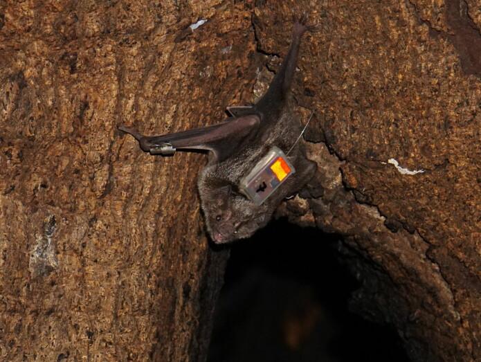 En av de merkede flaggermusene sitter i åpningen til trehulen der kolonien holder til. (Foto: Simon Ripperger)