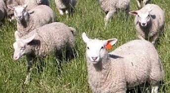 Beitende husdyr gjør karbonlagrene mindre