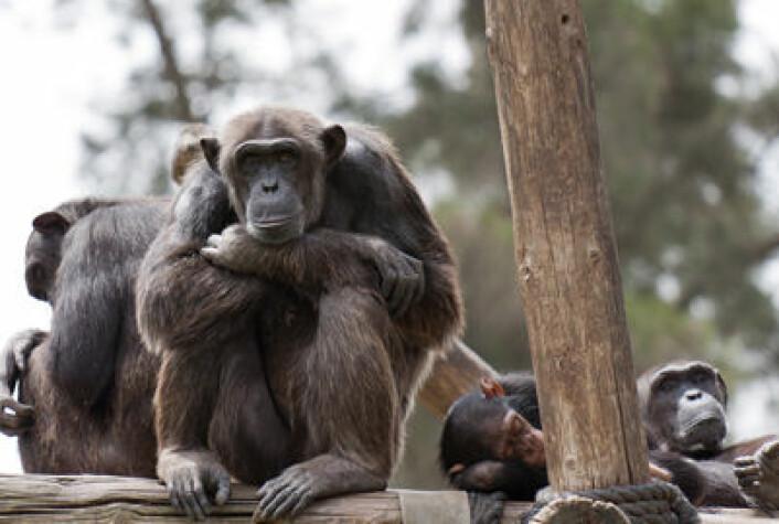 Sjimpansen er en av apeartene som kan stå i fare dersom palmeoljeindustrien utvides. (Illustrasjonsfoto: Colourbox)