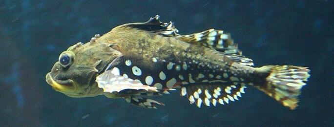 Dette er ei fesshompa! Langs kysten, særlig i nord, er det mange som kaller fiskearten ulke for fesshompa. (Foto: Store norske leksikon).