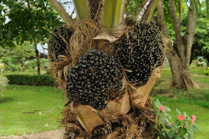Palmeolje utvinnes fra frukten på palmen. (foto: Cayambe, Wikimedia Commons)