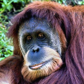 Orangutangen er særlig utsatt fordi den holder til i plantasjene fordi eierne ser på den som et skadedyr. (Foto: Wikimedia Commons)