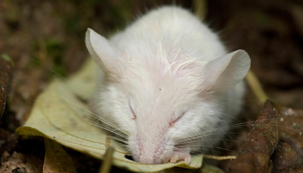 Her ser du en mus som sover. Kanskje jobber den lille musehjernen med å slette gamle minner slik at den får plass til nye. (Foto: kurt_G / Shutterstock / NTB scanpix)