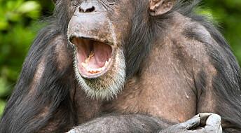 Palmeolje truer apene i Afrika