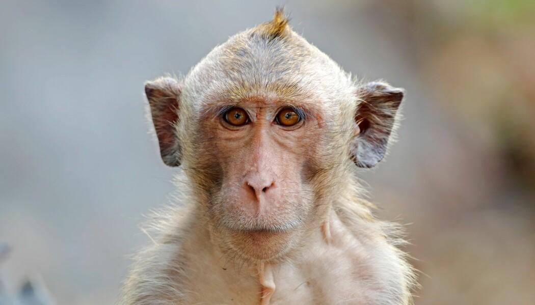 En makak-ape opplever ikke musikk som mennesker gjør, tror forskere. (Foto: Colourbox)