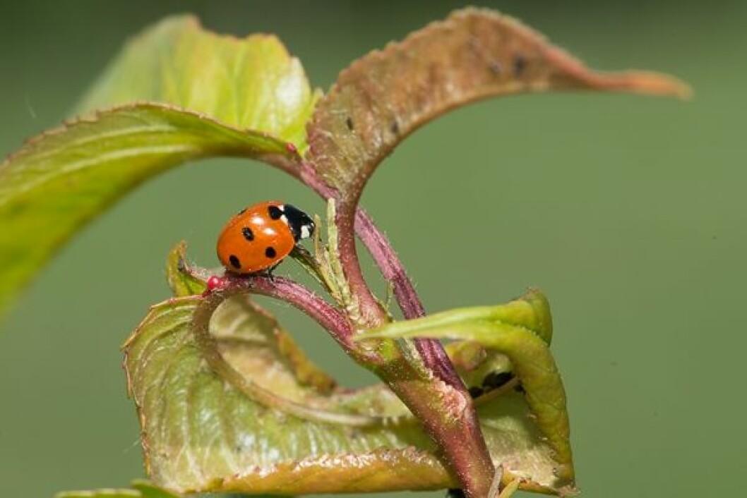 Marihøna er en svært nyttig hjelper i kampen mot bladlus. (Foto: Erling Fløistad.)