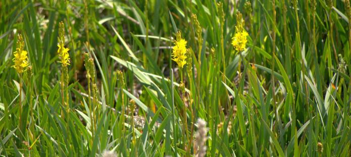 Rome, Narthecium ossifragum, kan brukes mot spøkelser. Planten vokser på myr og har gule, stjerneformede blomster og flattrykte, sukkulente blader. Foto: Thomas Griesohn, flickr, CC BY-SA 2.0