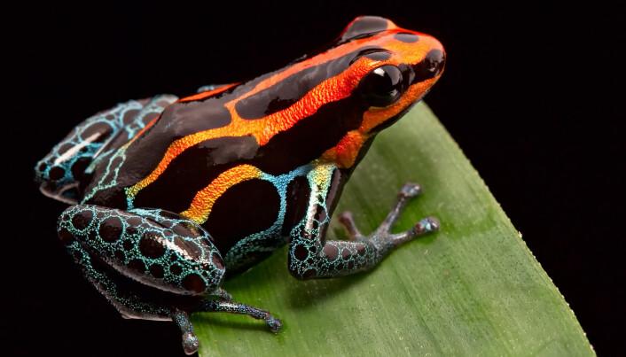 Avskrekkende farger hos en pilgiftfrosken fra Peru. (Foto: Dirk Ercken/ Shutterstock/ NTB scanpix)