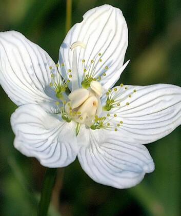 I enden av stengelen er det en kremhvit blomst med fem ovale kronblad med gjennomskinnelige årer, fem frynsete staminodier og fem pollenbærere. (Foto: Wikimedia commons)