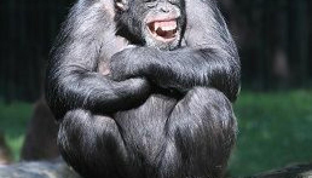 Hessen forklarer at aper kan ha humor, men at den ikke er koblet til latter. Scanpix
