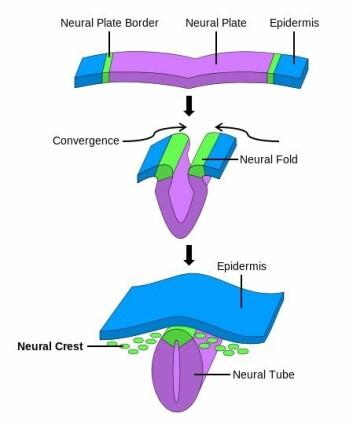 Nevrallisten kalles Neural Crest på engelsk, og kan sees nederst på bildet. Nevralrøret (Neural tube) blir tilslutt ryggraden og sentralnervesystemet hos fosteret. (Foto: (Bilde: NikNaks/Wikimedia Commons))
