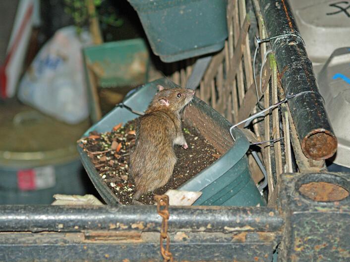 Dette er en vill brunrotte, på matjakt. (Foto: David Shankbo/Creative commons)