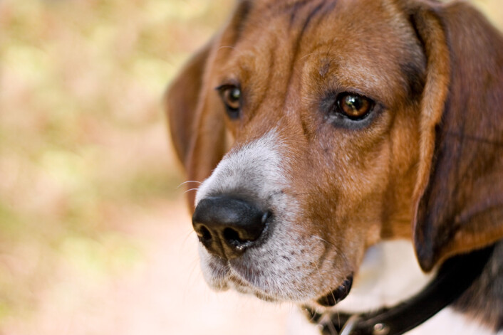 Beaglen har en kortere snute, myke ører og hvite flekker i pelsen. (Illustrasjonsfoto: Colourbox)