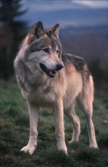 Den ville ulven har en lang snute, store tenner og spisse ører. (Illustrasjonsfoto: Colourbox)