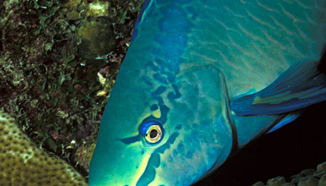 Scarus vetula, en variant av papegøyefisk som lever i det karibiske hav. Laszlo Ilyes/Creative Commons