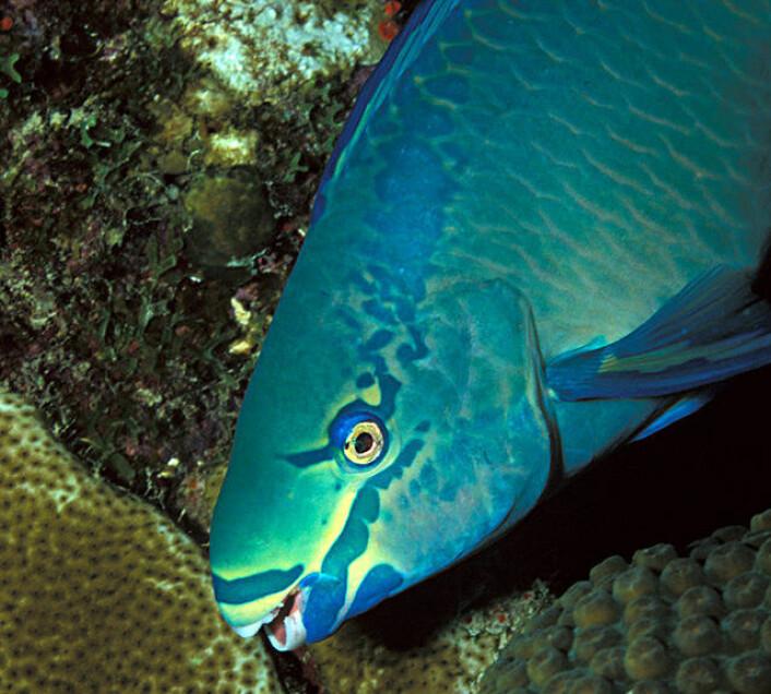 Scarus vetula, en variant av papegøyefisk som lever i det karibiske hav. (Foto: Laszlo Ilyes/Creative Commons)