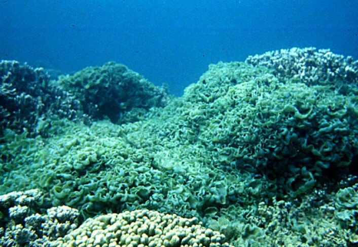 Korallrev som er kvalt av alger. (Illustrasjonsfoto: NASA)