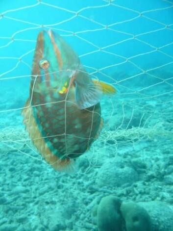 En art Papegøyefisk fanget i nettet. (foto: Ayana Johnson)