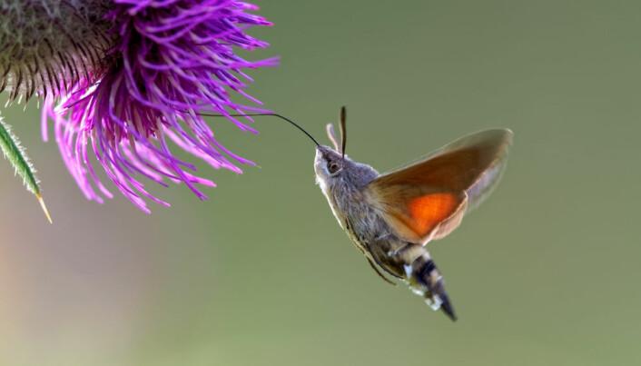 Dagsvermeren er en trekksommerfugl som kommer til Norge på sommeren. (Foto: Shutterstock)