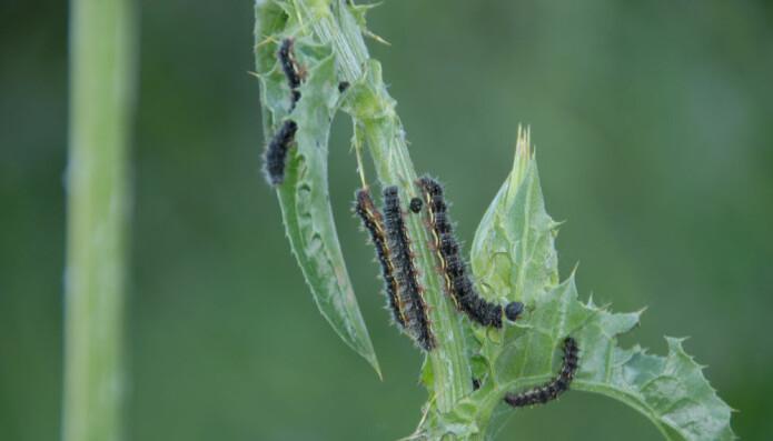 En larve av tistelsommerfugl midt i matfatet. (Foto: Shutterstock)