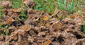 Tistelsommerfugl – insektenes globetrotter