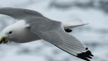Sjøfugler reagerer ulikt på klimaendringer