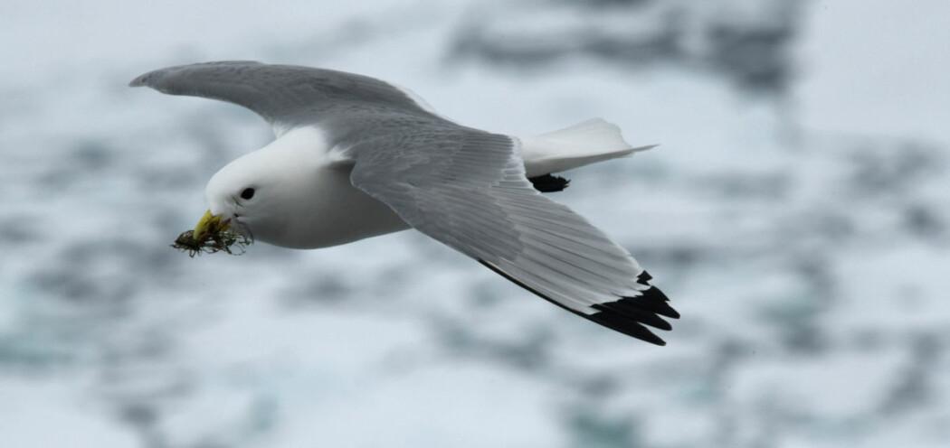 Krykkja, som vi finner i norske farvann langs kysten og rundt Svalbard, er en av artene som ble undersøkt i studien.