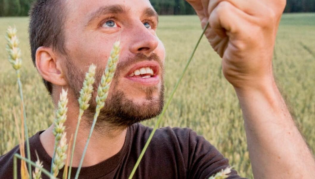 Endelig bedre hvete