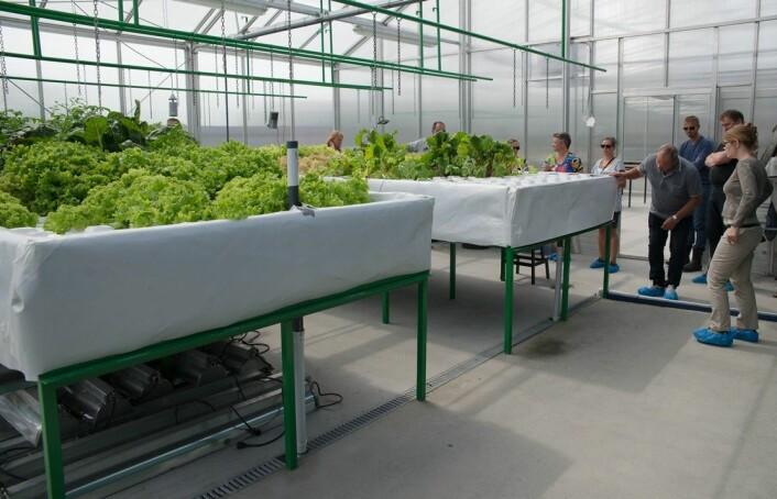 I plantedelen av akvaponi-anlegget, til høyre, får plantene næring fra fiskene. Feltet til venstre dyrkes med vanlig kunstgjødsel for å sammenligne med akvaponi. Plantene flyter på vann i isoporpotter. (Foto: Anette Tjomsland)