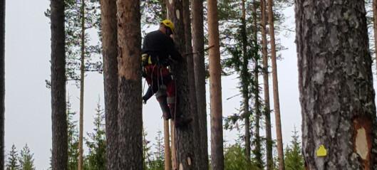 Kan vi produsere selv-impregnerende trær til stavkirker?