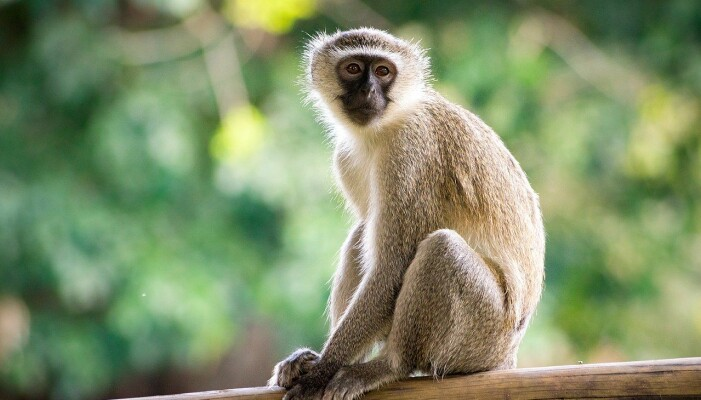 Arten denne apen tilhører, har utviklet et utvalg av hyl som signaliserer hvilket rovdyr som er i nærheten. (Foto: Thomas Shahan / Flickr CC BY 2.0)