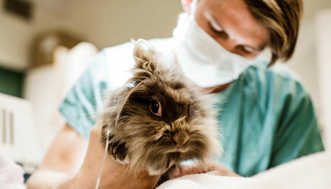 Smådyrklinikken har i vår hatt over 80 friske kaniner inne til en helsesjekk. Her undersøker veterinær John Debenham før keisersnitt på en kanin. (Foto: Gisle Bjørneby, NMBU)