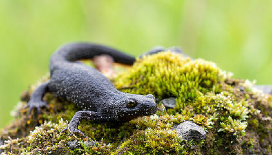 Storsalamander er kategorisert som sårbar i norsk natur. Ved hjelp av DNA-analyse av vann fra dammer og tjern kan kanskje forskerne få enklere oversikt over hvor de lever. Heiko Wehner/Flickr