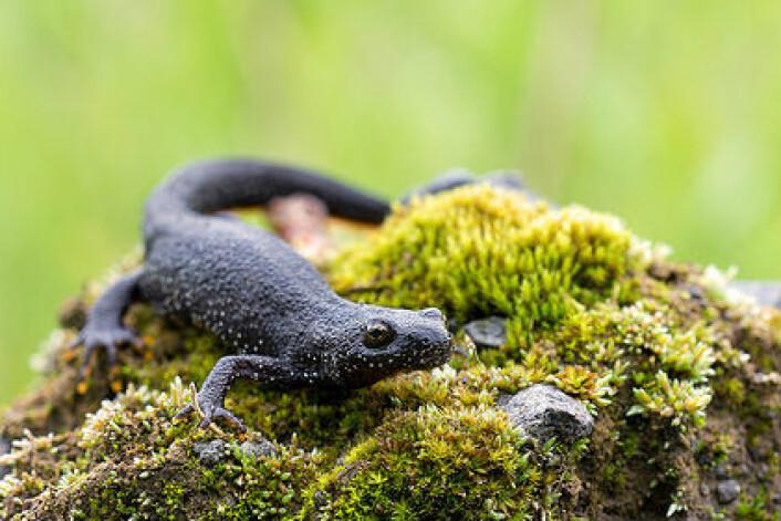 Storsalamander er kategorisert som sårbar i norsk natur. Ved hjelp av DNA-analyse av vann fra dammer og tjern kan kanskje forskerne få enklere oversikt over hvor de lever. (Foto: Heiko Wehner/Flickr)