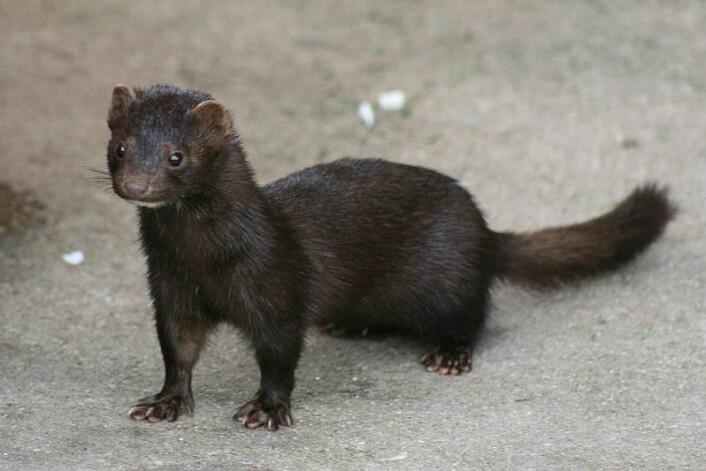 Miljø-DNA kan også brukes til å finne invaderende arter i naturen, slik som minken. (Foto: Wikimedia Commons)