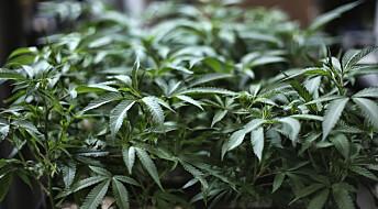 Cannabis som medisin bedrer ikke psykiske lidelser, viser stor studie