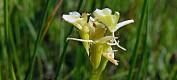 Ukas art: Fettblad – orkideen som ble borte