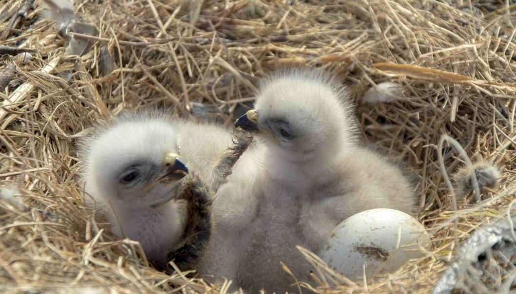 To fjellvåkunger og et egg på reir. (Foto: Ivan Fufachev).