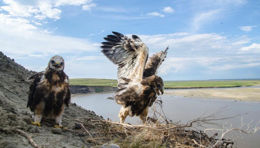 Voksen og ungfugl ved reiret. I bakgrunnen en nenetsisk chum (bosetting/leir). (Foto: Ivan Fufachew).