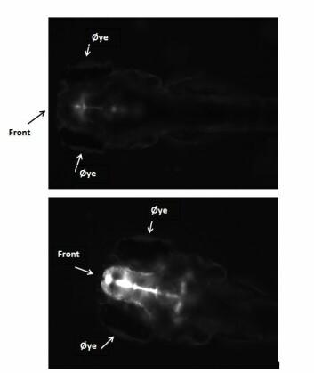 Svarthvitt bilde av hodet til sebrafiskembryo fem dager etter fertilisering. Embryoet øverst er ikke eksponert og har lite GFP i hjernen (hvit farge). Embryoet nederst er eksponert for østrogen og har høyt nivå av GFP i hjernen. (Foto: UFZ, Karina Petersen)